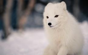 Картинка зима, лес, животные, белый, морда, снег, природа, фон, портрет, глазки, милый, песец