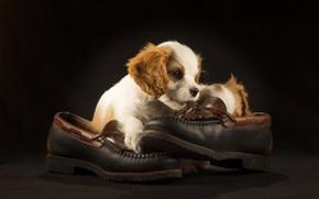 Картинка туфли, щенок, спаниель