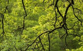 Обои зелень, ветки, дерево