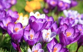 Картинка Цветы, Природа, Весна, Луг, Красота, Цветение, Крокусы