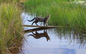 Картинка кошка, трава, вода, отражение, доска