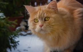 Картинка кошка, взгляд, рыжая