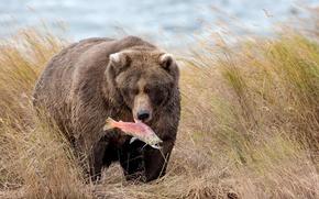 Обои природа, рыба, медведь