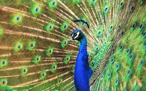 Картинка птица, узор, портрет, хвост, павлин, красавец, яркое оперение