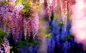 Картинка ветки, цветение, грозди, глициния
