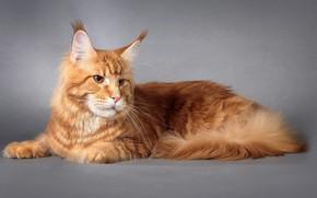 Обои Кот, Мейн-кун, Кошка