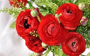 Картинка цветы, красный, букет, бутоны, ранункулюс, азиатский лютик