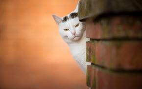 Картинка кошка, взгляд, фон, мордочка, кирпичи, выглядывает