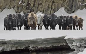 Картинка снег, рога, буйволы