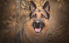 Картинка собака, портрет, взгляд, осень, ветки, морда, овчарка
