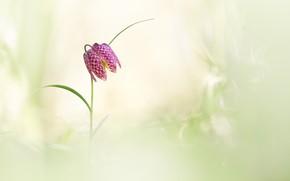 Картинка цветок, фон, весна, шахматный рябчик