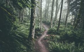 Картинка лес, деревья, мох, тропа, папоротник