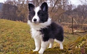 Обои природа, собака, щенок, шелти, шетландская овчарка