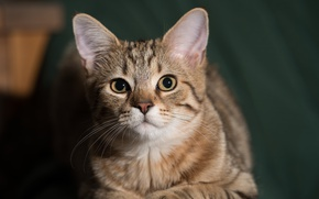 Обои мордочка, взгляд, кошка