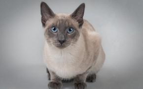 Картинка кошка, взгляд, фон, портрет, голубые глаза, котейка, Тайская кошка