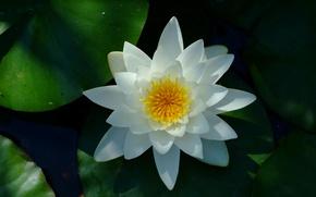 Картинка Water lily, White flower, Водяная лилия, Белый цветок