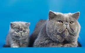 Обои коты, фон, кошки