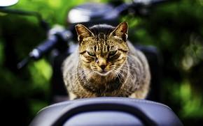 Обои взгляд, фон, кот