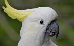 Картинка белый, птица, Попугай, ара, чуб