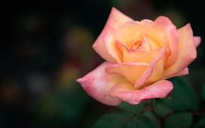 Обои роза, лепестки, красавица