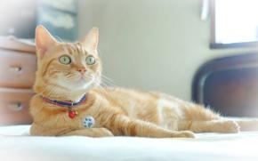 Обои глаза, кот, рыжий