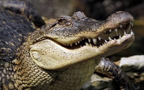 Обои зубы, крокодил, рептилия
