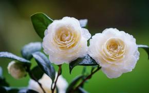 Картинка листья, капли, цветы, фон, две, белые, бутоны, зеленый фон, камелия, камелии