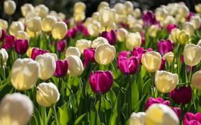 Обои цветы, тюльпаны, бутоны, много