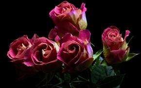 Картинка листья, черный фон, розовые розы