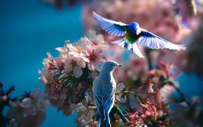 Картинка птицы, ветки, природа, весна, пара, цветение, Thai Phung