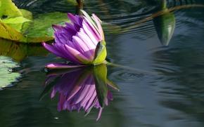 Картинка вода, отражение, нимфея