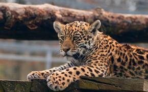 Обои лапы, глаза, детеныш, зоопарк, доски, фон, природа, малыш, дикая, лежит, пятнистый, поза, кошка, брусья, милый, ...