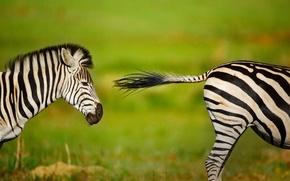 Картинка зебра, Африка, ЮАР, Rietvlei Nature Reserve