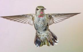 Картинка птица, крылья, колибри, калипта Анны