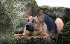Картинка камни, собака, Немецкая овчарка