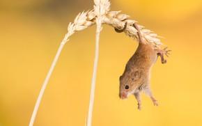 Картинка фон, мышка, колоски, грызун, акробатика, Мышь-малютка