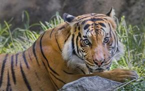 Обои Тигр, отдых, животное, кошка
