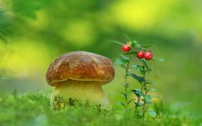 Картинка гриб, мох, брусника, боровик
