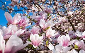 Картинка дерево, Цветы, цветение, Магнолии