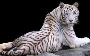 Обои белый, природа, тигр, животное, отдых