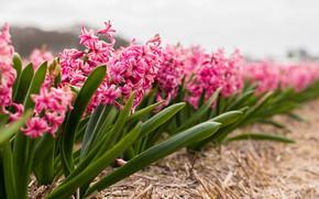 Картинка поле, Цветы, весна, цветение, кустики, Гиацинт