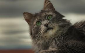 Картинка кошка, взгляд, портрет, зелёные глаза