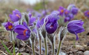Картинка весна, сон-трава, прострел