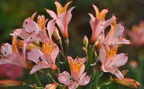 Картинка Букет, Bouquet, Pink flowers, Альстрёмерия, Alstroemeria, Розовые цветы