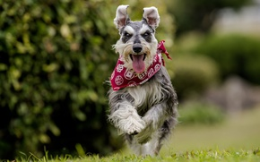 Картинка язык, радость, собака, бег, прогулка, бандана, боке, Цвергшнауцер