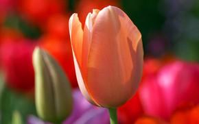 Картинка тюльпан, весна, лепестки