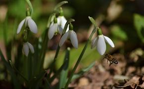 Картинка макро, пчела, весна, подснежники, насекомое