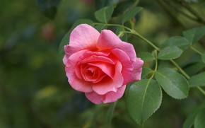 Картинка макро, роза, бутон, розовая роза