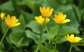 Картинка природа, фон, обои, Цветы, природа nature, желтые цветы, лютик, куриная слепота, Лютик едкий, Ranunculus acris