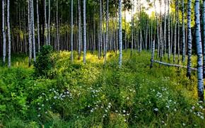 Картинка зелень, лес, лето, трава, солнце, деревья, цветы, ромашки, Россия, берёзы, роща
